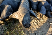 Porcs noirs de Bonifay à Twin Oaks Farm_usproject2016.com