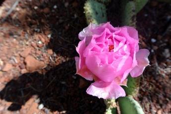 ZNP fleur de cactus rosée 1